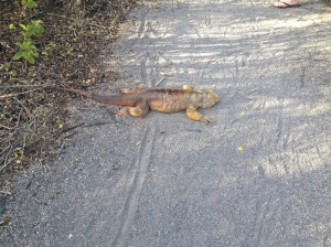 Land Iguana...just doesn't care that we're there