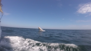 A humpback whale trying his first jumps